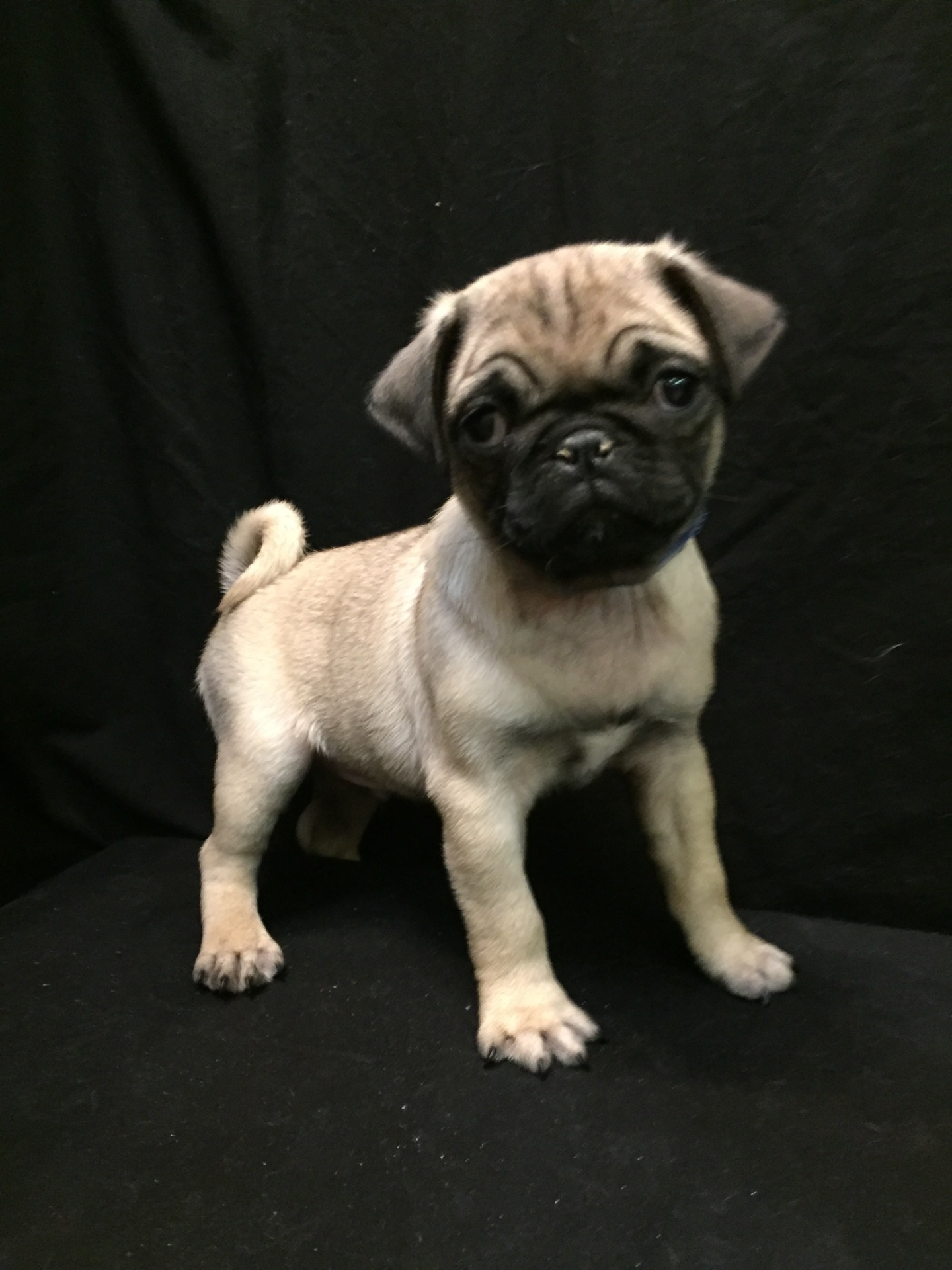 #2163 - Male Pug