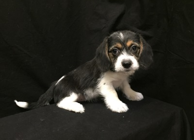 #4956- Female Beaganese (Beagle/Havanese)