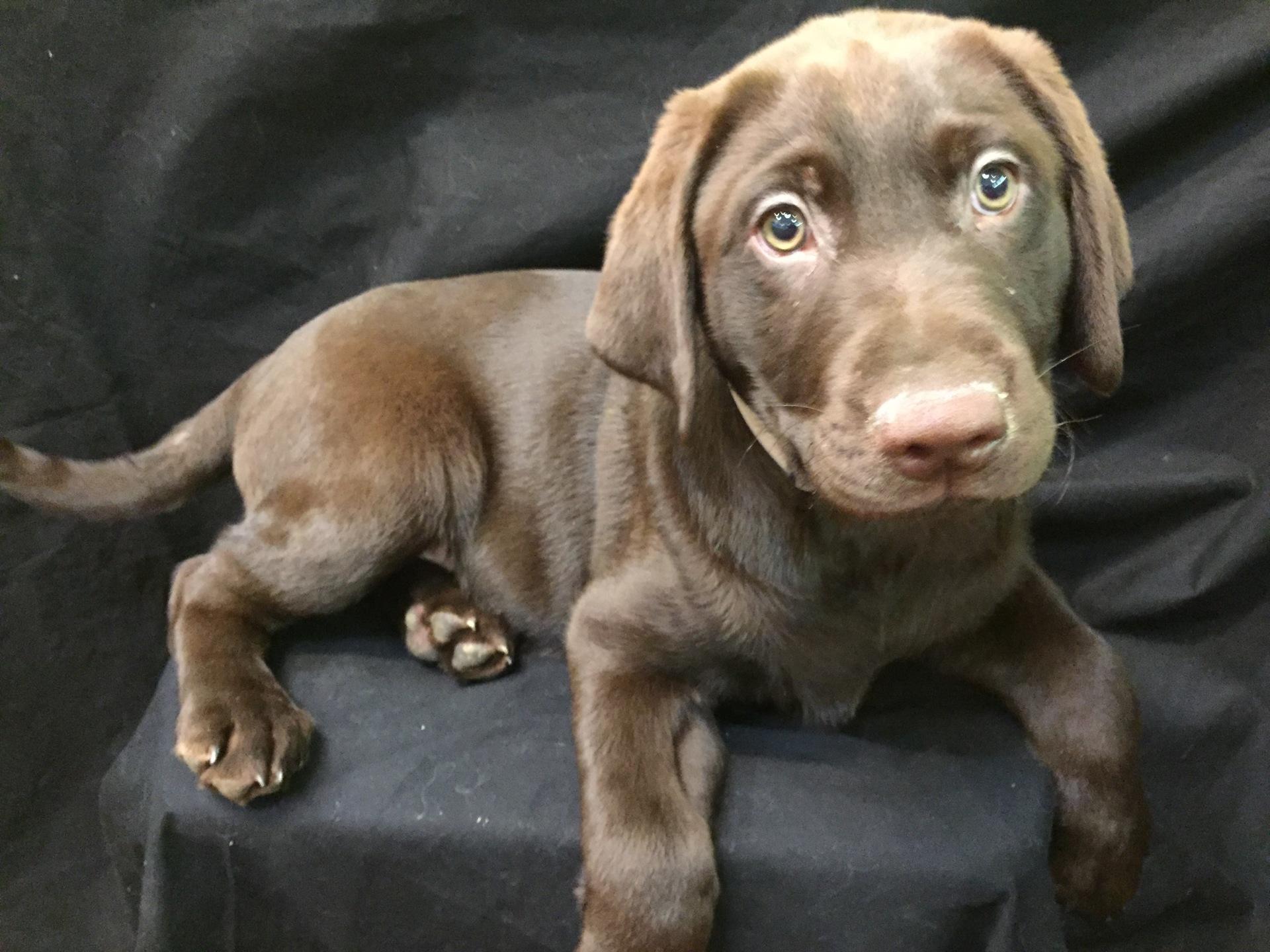 #2019 - Male Labrador