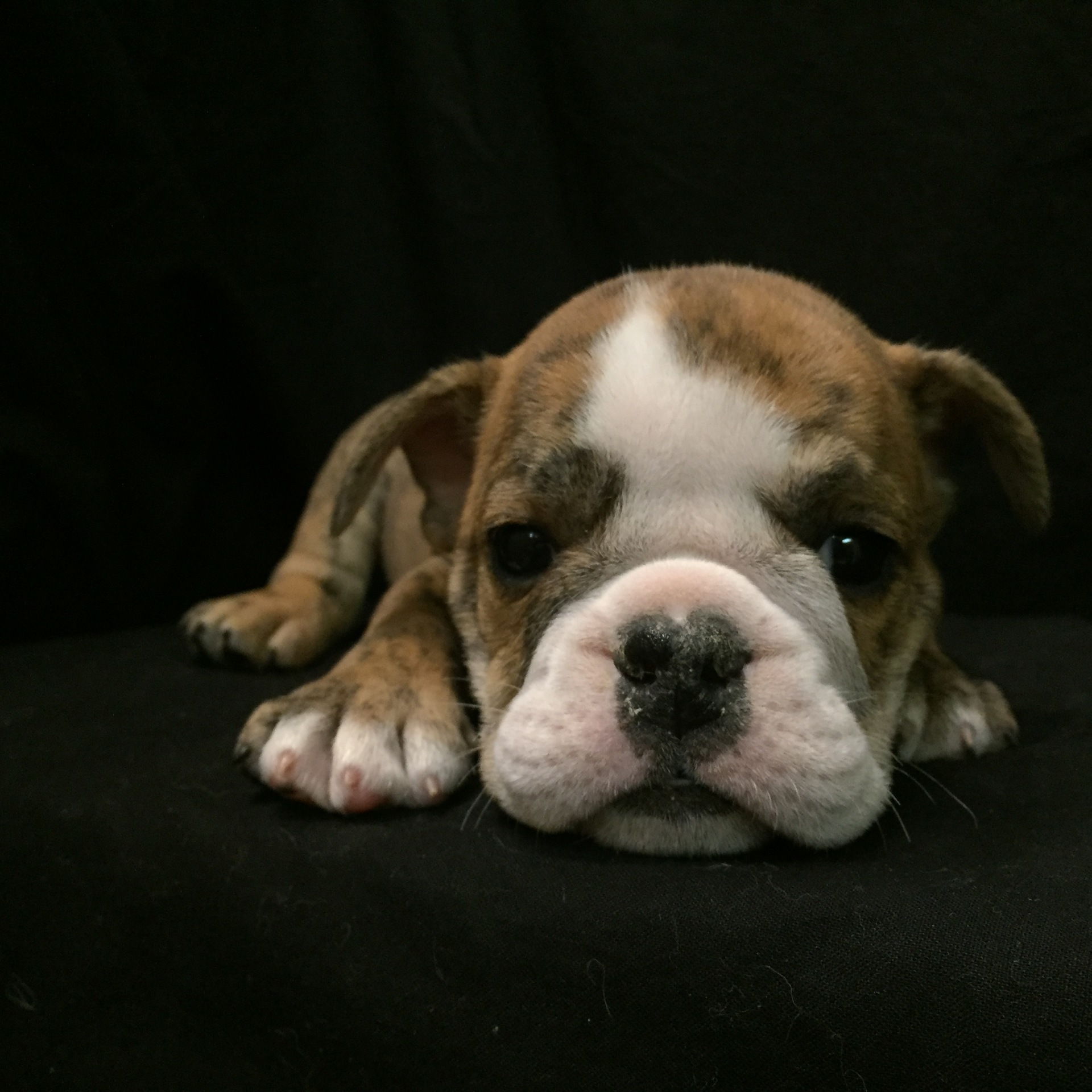 #8622 - Male English Bulldog