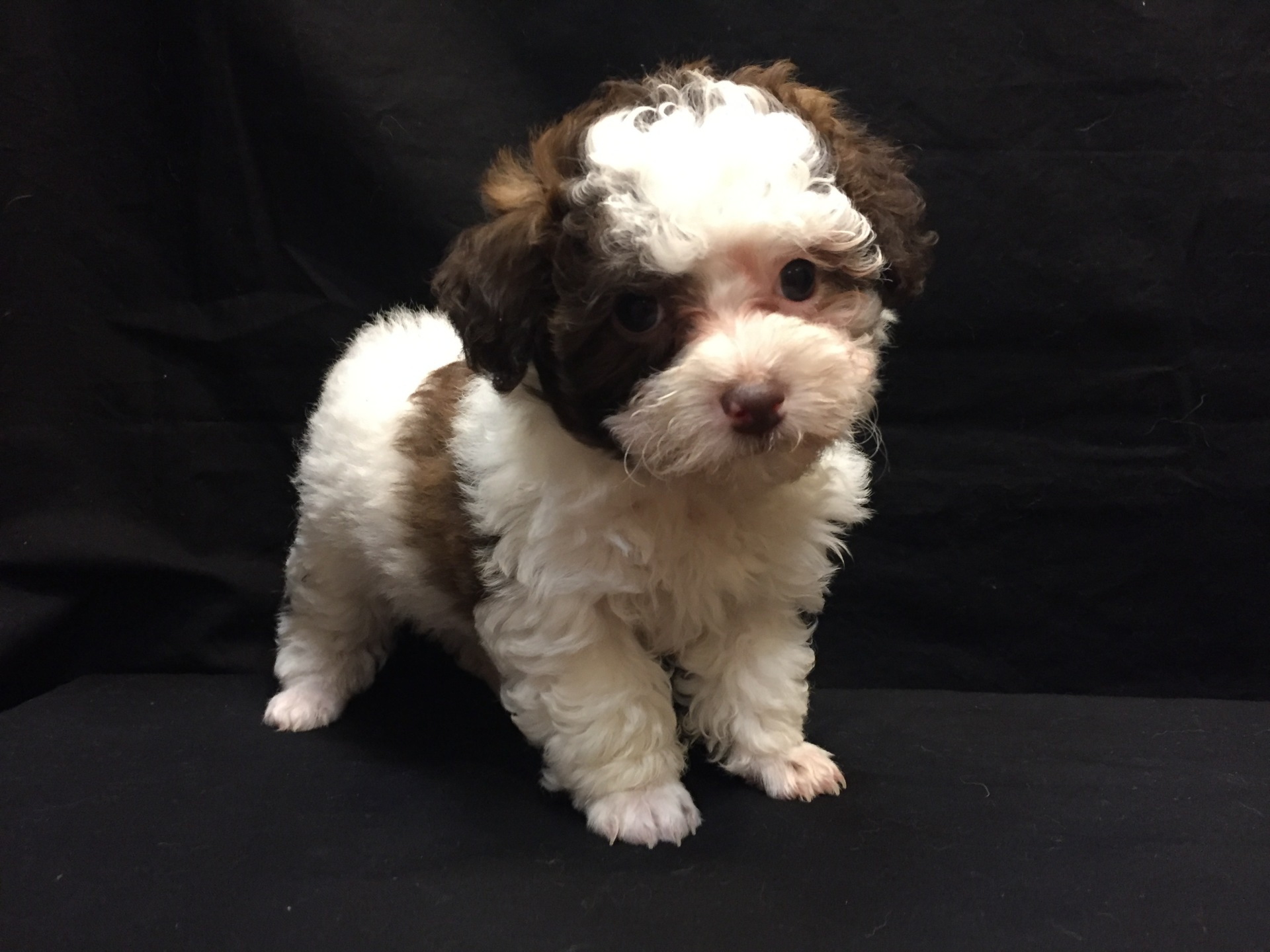 #4070 - Male Malti-Poo (Maltese - Poodle)