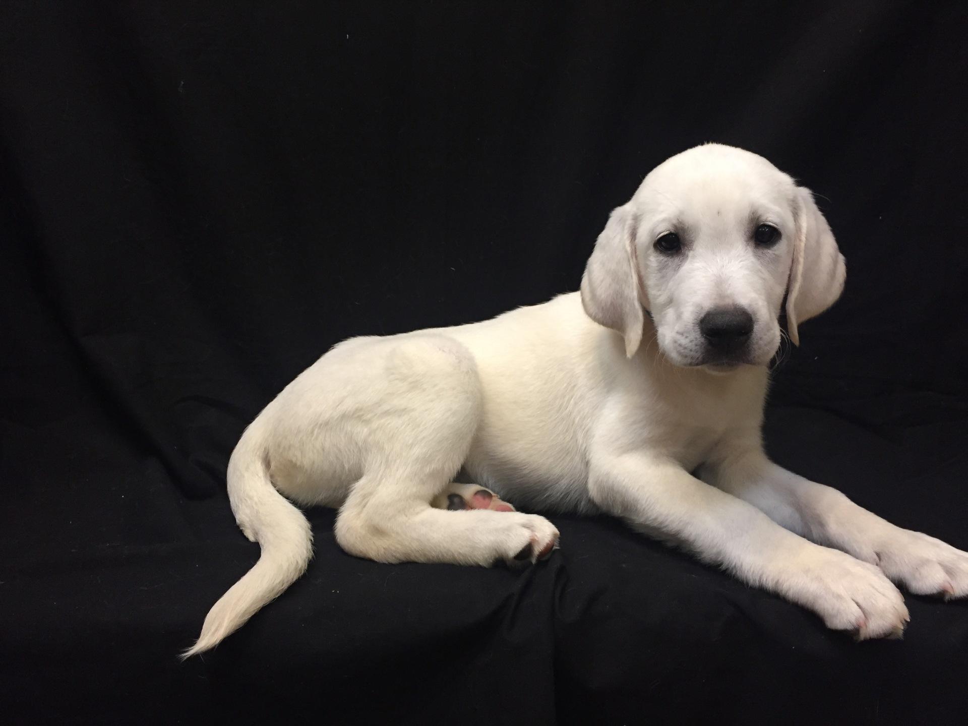 #2821 - Male Labrador