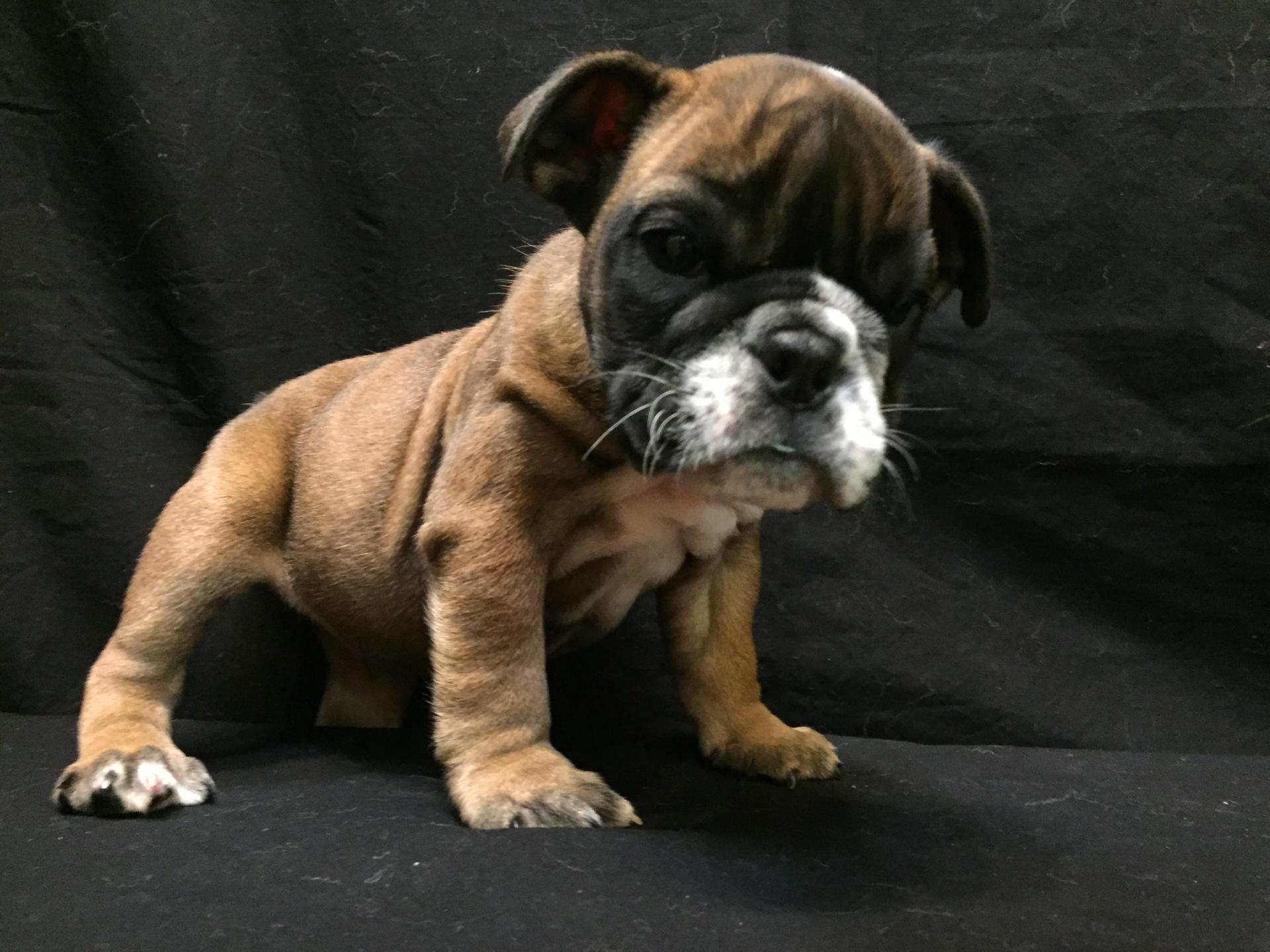 #8609 - Female English Bulldog