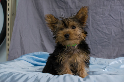 #6416 - Male Yorkshire Terrier