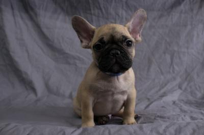 #0340 - Male French Bulldog