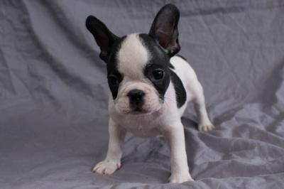 #0350 - Male French Bulldog