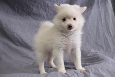 #4057 - Male Pomeranian