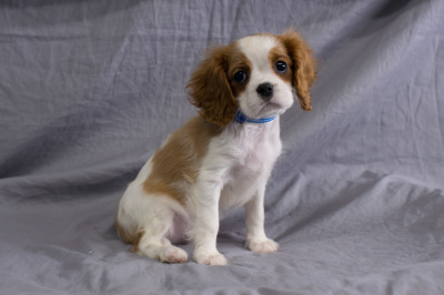 #0977 - Male Cavalier King Charles
