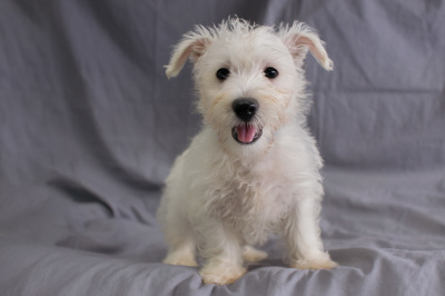 #1942- Male West Highland Terrier