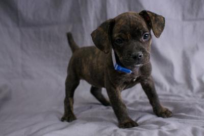 #2362 - Female Frengle (French Bulldog/Beagle)