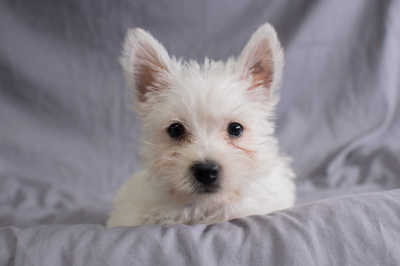 #4106- Male West Highland Terrier