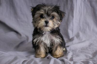 #4614 - Male Yo-Chon (Yorkshire Terrier/Bichon Frise)