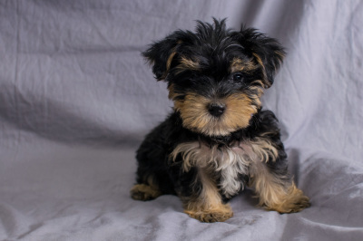 #9094 - Male Morkie (Maltese/Yorkshire Terrier)