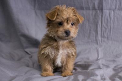 #9940 - Female Yo-Chon (Yorkshire Terrier/Bichon Frise)