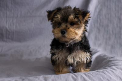 #9799 - Male Morkie (Maltese/Yorkshire Terrier)