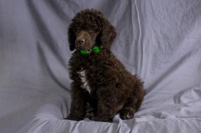 #9696 - Male Poodle (Standard)