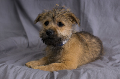 #8512 - Male Cairn Terrier