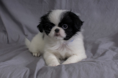 #9072 - Male Japanese Chin