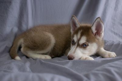 #0300 - Female Siberian Husky