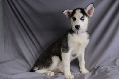 #9024 - Female Siberian Husky