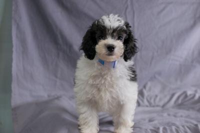 #1087 - Male Poodle
