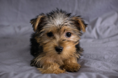 #3336 - Male Yorkshire Terrier