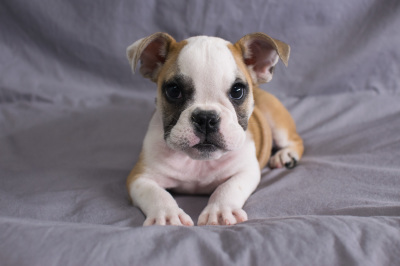 #0287 - Female English Bulldog