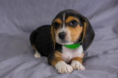 #4044- Female Beagle