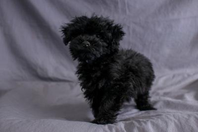 #5638 - Male Yorkie-Poo (Yorkshire Terrier/Poodle)