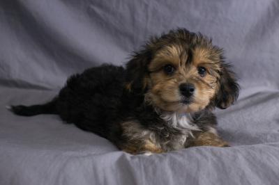 #9121 - Male Yo-Chon (Yorkshire Terrier/Bichon Frise)