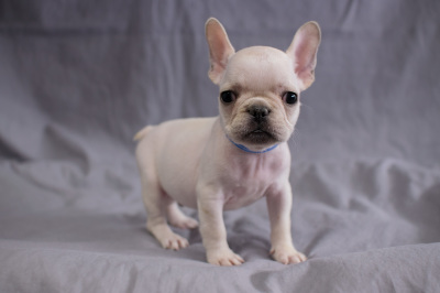 #0279 - Male French Bulldog