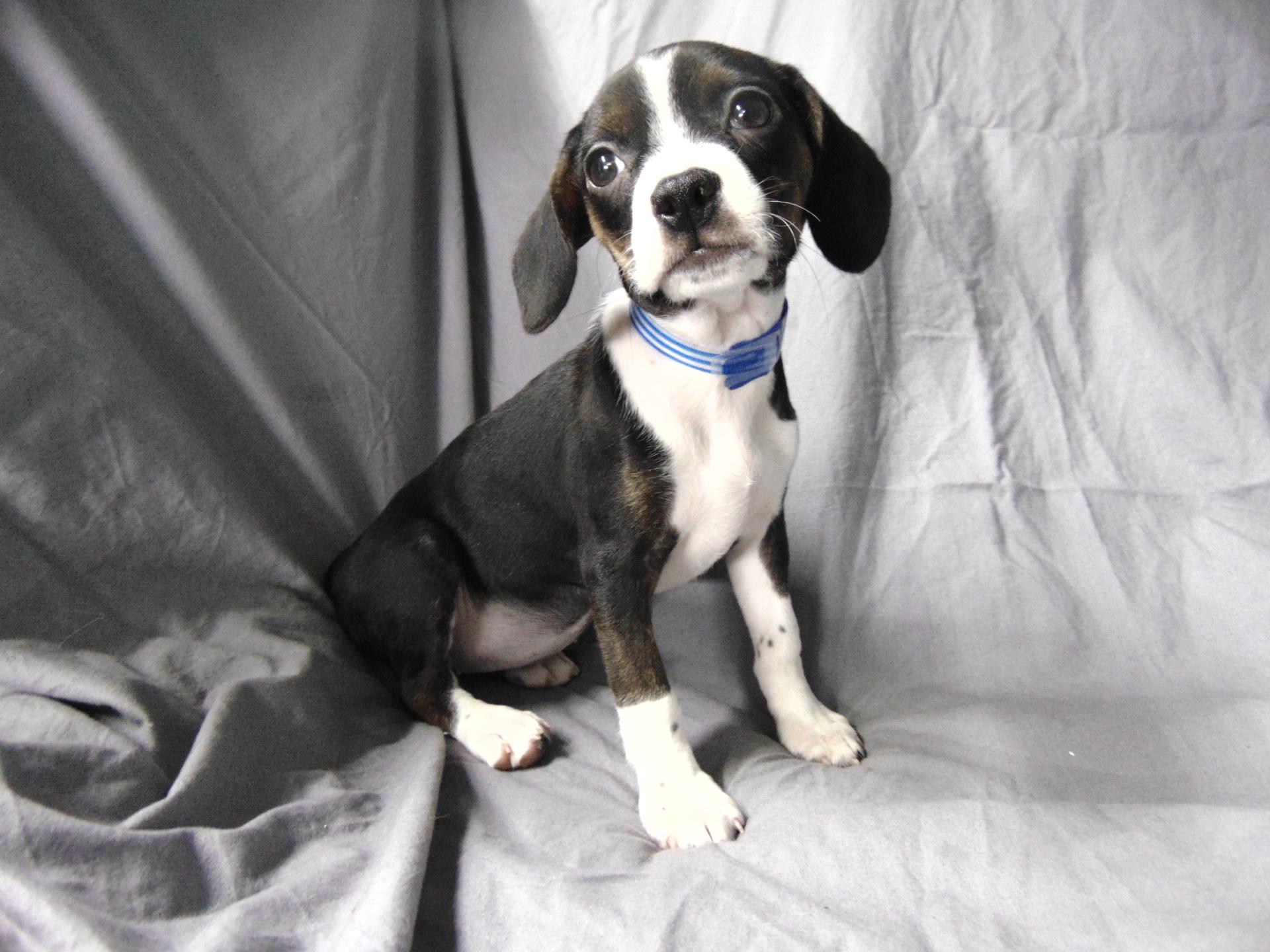 #7256 - Female Boglen Terrier (Beagle/Boston Terrier)