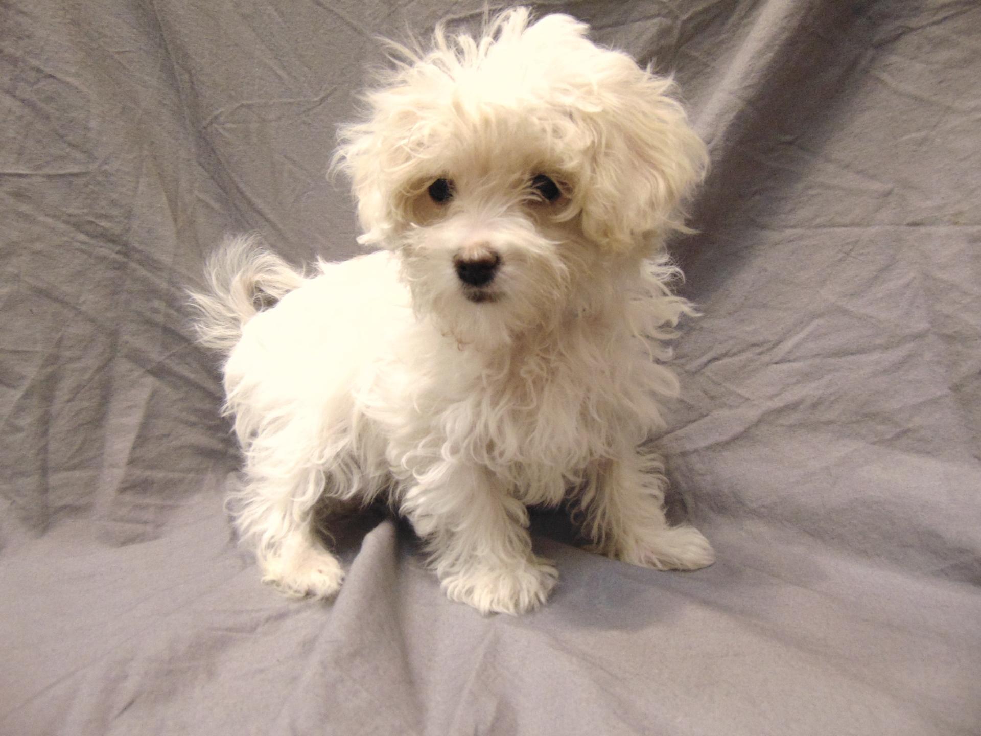 #0021 - Female Malti-Poo (Maltese/Poodle)