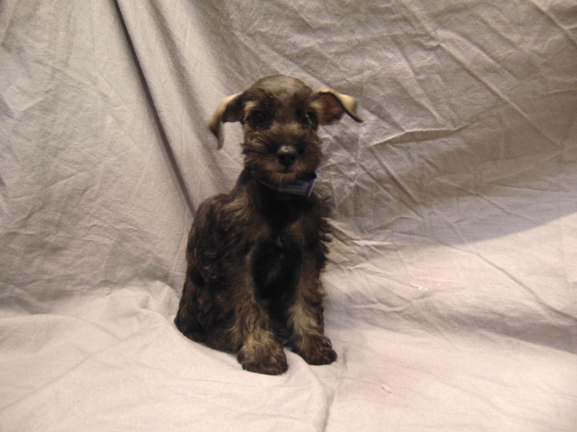 #9697 - Female Schnoodle (Miniature Schnauzer/Poodle)