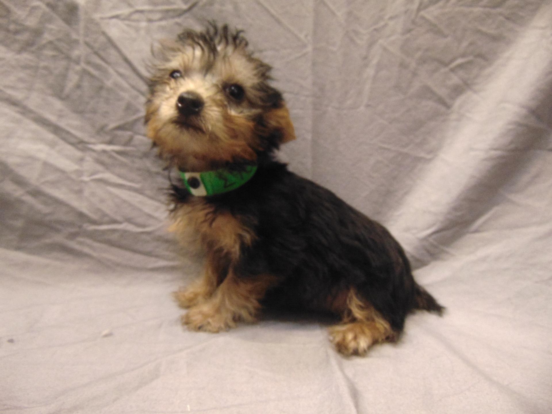 #2758 - Male Silky Terrier