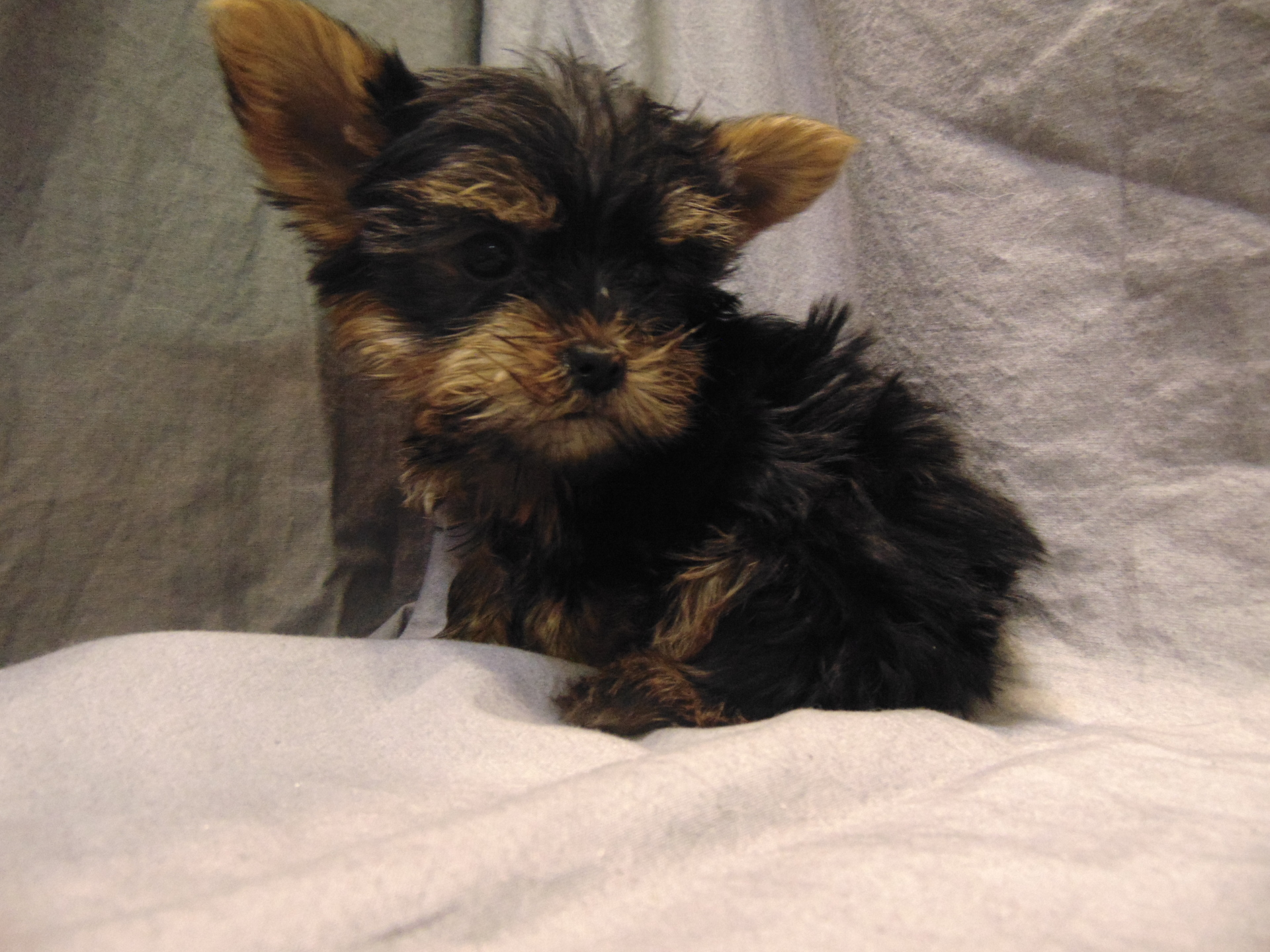 #2269 - Male Yorkshire Terrier