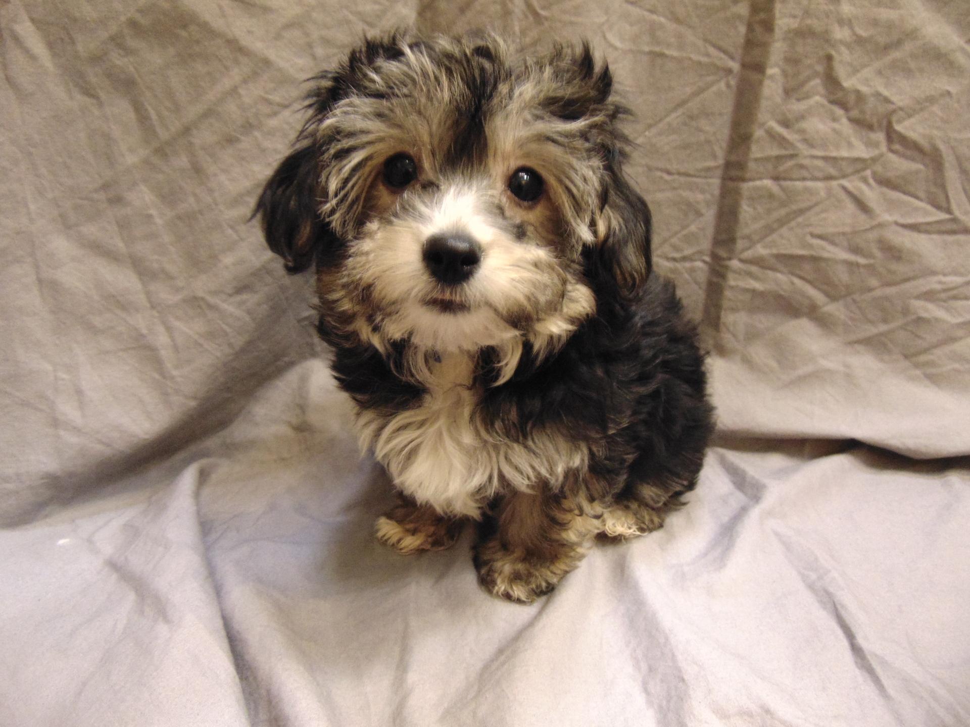 #9854 - Male Yo-Chon (Yorkshire Terrier/Bichon Frise)