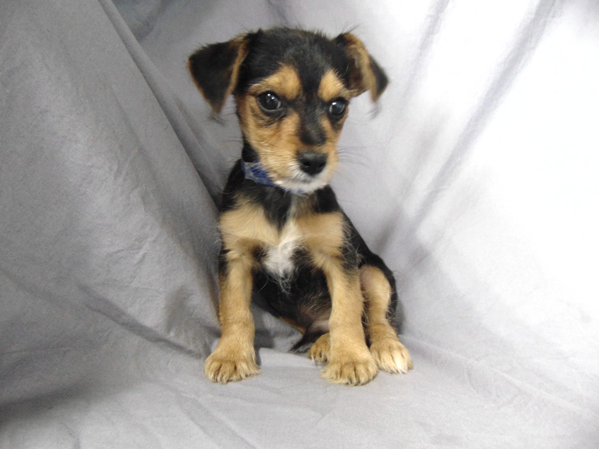 #7387 - Male Chorkie (Chihuahua/Yorkshire Terrier)