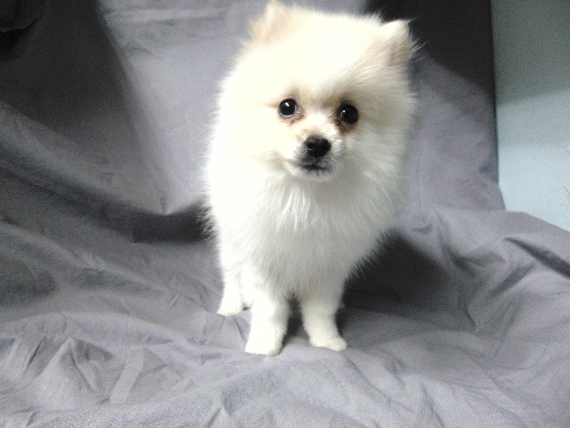 #7341 - Male Pomeranian