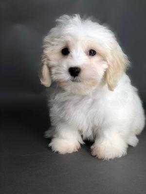 #3171 - Male Lhasa-Poo (Lhasa Apso/Poodle)
