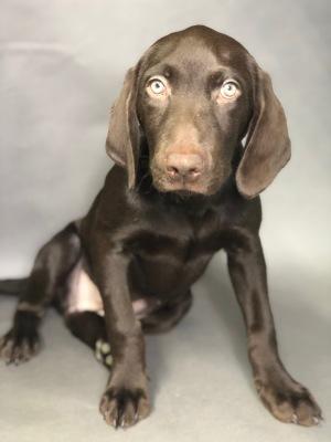 #9726 - Female Labrador Retriever