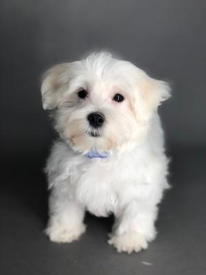 #7590 - Male Morkie (Maltese/Yorkshire Terrier)
