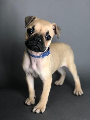 #7786- Female Mini Bulldog (English Bulldog/Pug)