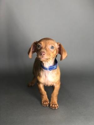#7698 - Female Chiweenie (Chihuahua/Dachshund)