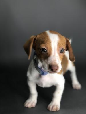 #7665 - Male Chiweenie (Chihuahua/Dachshund)