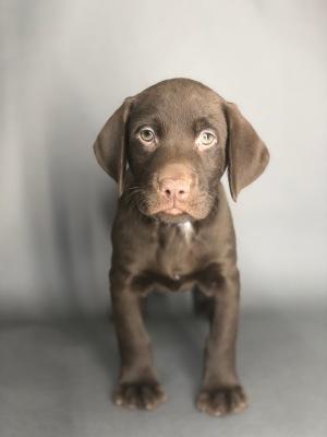 #6409 - Male Labrador Retriever
