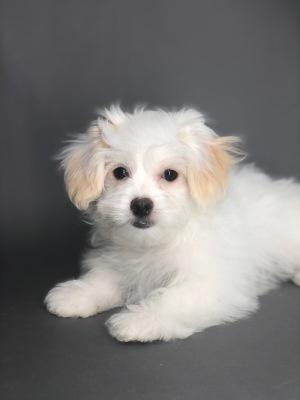 #9328 - Male Shorkie (Shih-Tzu/Yorkshire Terrier)