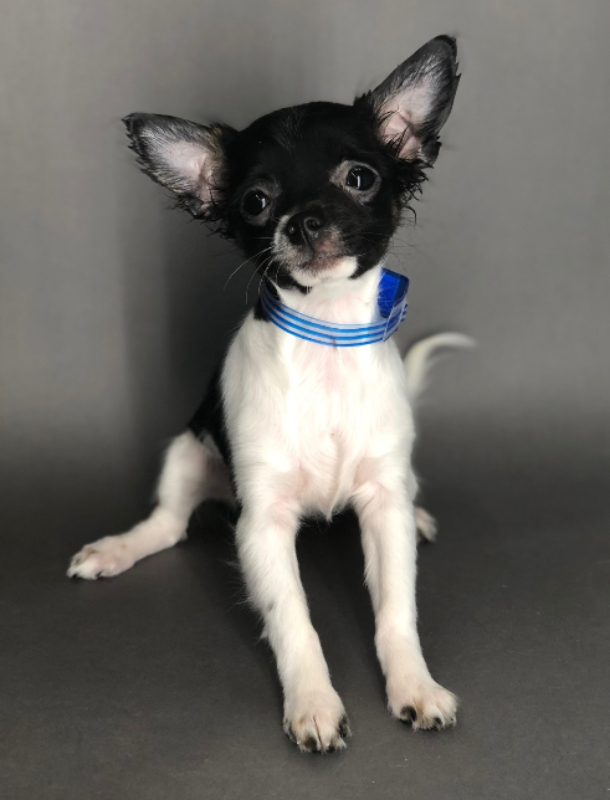 #4486 - Female Chihuahua