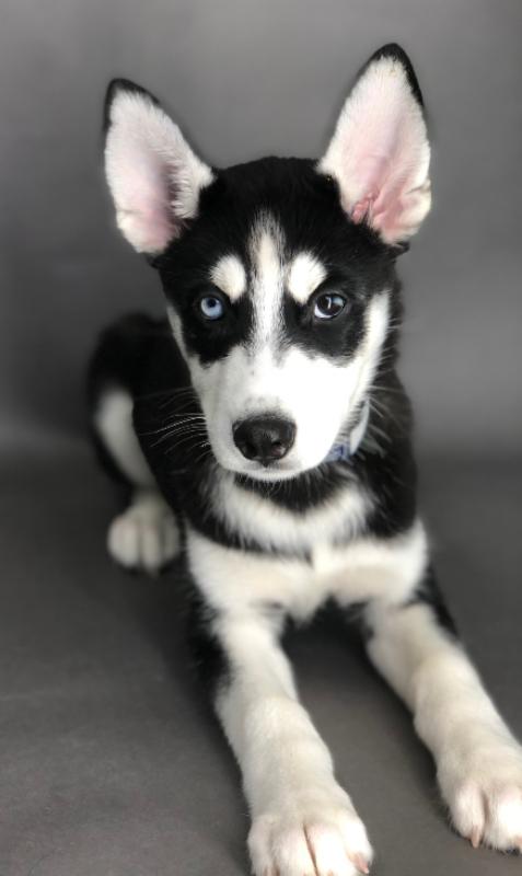 #7544 - Female Siberian Husky