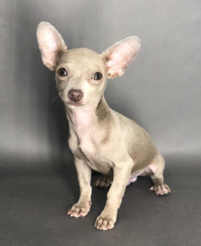 #5104 - Male Chihuahua